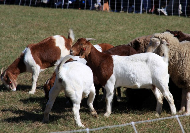 Herding_sheep_and_goats